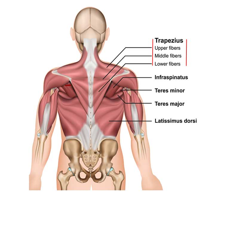 Trapezius Origin, Insertion, Action and Innervation