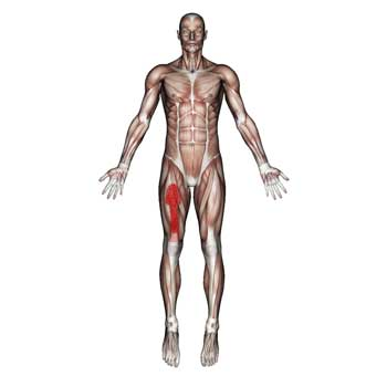 Vastus Intermedius Muscle: Quadriceps Thigh and Knee Pain